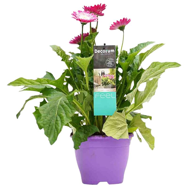 Fleur de tuin op met Gerbera's!
